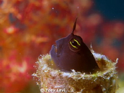 Small Blenny.