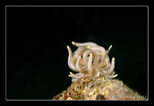 Mimic Nudibranch by John Clifford