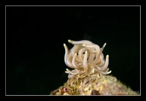 Mimic Nudibranch by John Clifford