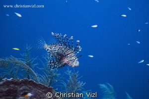 Lionfish and fishes swimming in a beautiful coral reef at... by Christian Vizl
