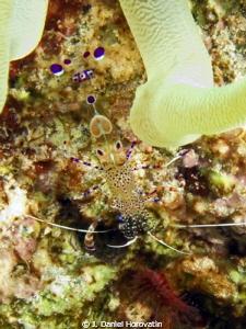 Spotted Cleaner Shrimp by J. Daniel Horovatin