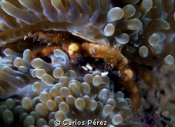 Front view of another little Anemone crab by Carlos Pérez