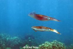 Two squids in Djibouti sea. Carpe Rouge Spot. by Marc Grau