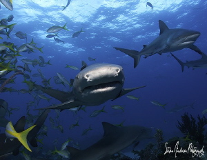 Lemon in your face, this image was taken at Shark Paradis... by Steven Anderson