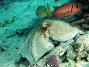 Octopus  friends by J. Daniel Horovatin