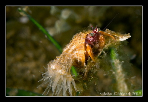 Anemone Hermit Crab by John Clifford