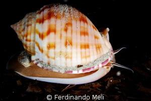 Gasteropod (Phalium granulatum). by Ferdinando Meli