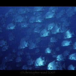 Key Largo, FL. An impressive school of Atlantic Spadefish... by Christopher Ward
