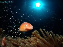Pink Skunk Anemone Fish - Padang Bai Olympus XZ-1 by Andy Chan