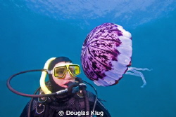 Pulsing Encounter. This diver meets a purple striped jell... by Douglas Klug