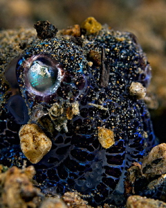 """""""Bobtail Squid""""   Covered with sand to hide. by Henry Jager"""