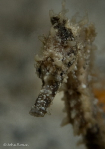 Baby picture. Only as big as my thumb nail.  hippocampus ... by John Roach