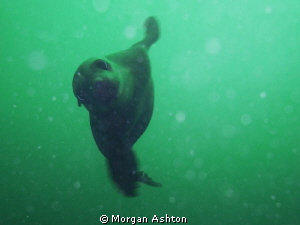 Will you be my friend? Sea lion in full curiosity mode. H... by Morgan Ashton