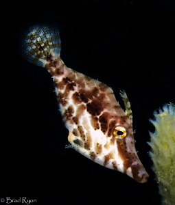 Slender filefish (Monacanthus tuckeri) by Brad Ryon