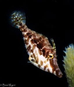 Slender filefish (Monacanthus tuckeri) by Brad Ryon