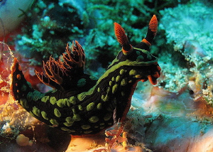 Nembrotha sp. by Chris Krambeck