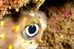 Puffer fish ,Box Fish as it is known in Mauritius.Canon 7... by Linley Jean-Yves Bignoux