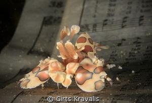 Harlequin shrimp by Girts Kravalis