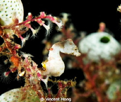 Pontohi Pygmy Seahorse, Nikon 60mm by Vincent Hong