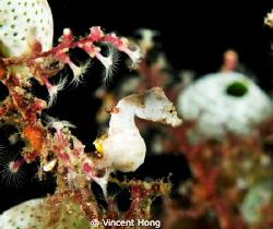 Pontohi Pygmy Seahorse, Nikon 60mm by Vincent Hong