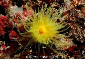 Coral (Leptopsammia pruvoti). by Ferdinando Meli