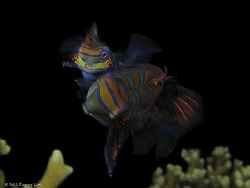 Mating Mandarin Fish - Malapascua, Philippines by Eugene Lim