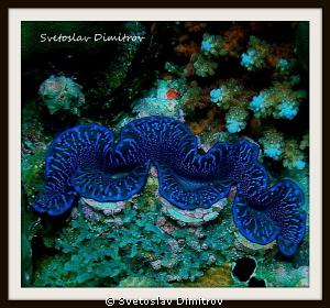 Amazing blue of the giant clam by Svetoslav Dimitrov