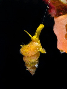 Epitonium billeeanum (1,5 cm). Take a look to the other s... by Alex Varani