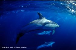 Common Dolphin pod South Africa by Marc Montocchio