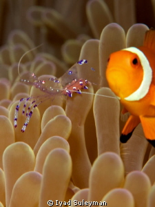 Anemonefish and Commensal shrimp w/eggs by Iyad Suleyman