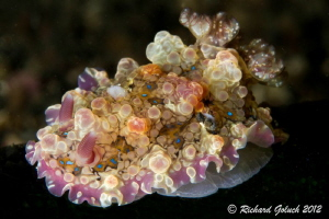 Dendrodoris Denisoni-found on the beer bottle in Lembeh by Richard Goluch