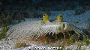 Flounder by Abimael Márquez