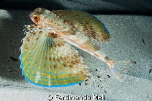 Owl fish (Dactylopterus volitans). by Ferdinando Meli