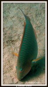 The dance of the parrot fish! by Svetoslav Dimitrov