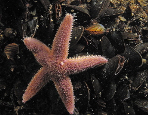 common starfish