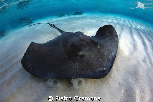 Southern Stingray by Pietro Cremone