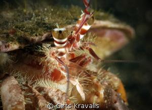 Hermit crab by Girts Kravalis