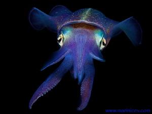 Squid. Bonaire. by Aleksandr Marinicev