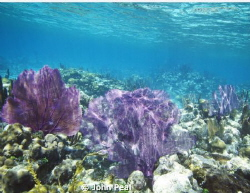 Just plain old nice coral. Glad to see the reef around Be... by John Peal