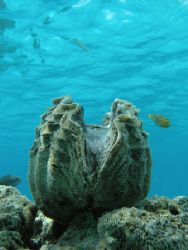 Giant Clam. Olympus C-8080 wide zoom / olympus housing. S... by Quentin Long