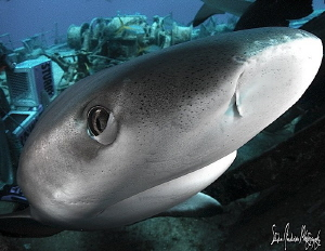 Eyes ready for protection, These Reef Sharks moved with p... by Steven Anderson