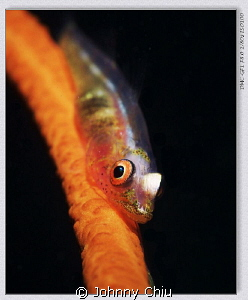 Sea whip goby , GF1 - 45mm - 1x Z240 1/80 - f8.0 - iso 100 by Johnny Chiu