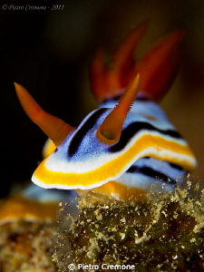Chromodoris by Pietro Cremone