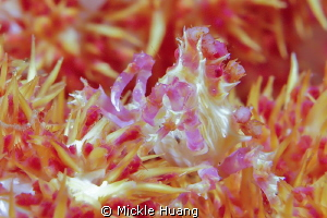 Candy Crab Aniloa the Philippines by Mickle Huang