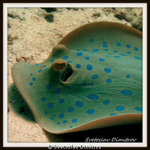 This blue spotted beauty goes ahead by Svetoslav Dimitrov