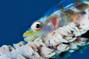 Whip Goby Portrait again... by Iyad Suleyman