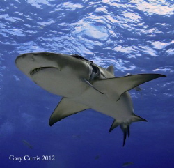Meet 'Lucky Luciano'..one of the Lemon Sharks from our Sh... by Gary Curtis