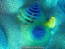 A beautiful Christmas Tree Worm found on the coral by David Crutchley