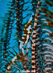 crinoid shrimp at Maumere by Chinchin Law