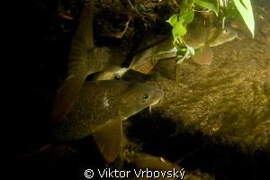 Barbel (Barbus barbus) - fish living in the river stream by Viktor Vrbovský